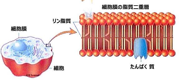 「リン脂質」の画像検索結果